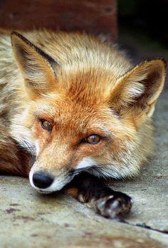 Red Fox by Katarina 2353 - Katarina Stefanović Cute Baby Animals, Animals And Pets, Wild Animals, Wildlife Photography, Animal Photography, Wolf Hybrid, Fantastic Fox, Fox Pictures, Pet Fox