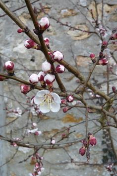 Apricot tree in spring . So delicate and tender