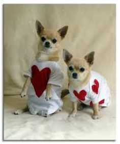 Dog Valentine's Day Wallpapers | Chihuahua dogs valentine's day wallpaper