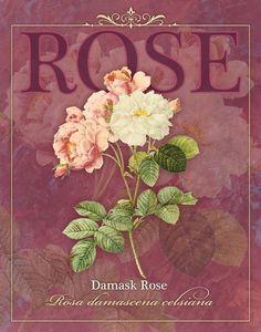 Tammy Apple Damask Rose