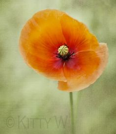 A simple field poppy, overlaid with a texture.