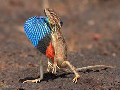 Fan-throated lizard (Sitana ponticeriana) - a species of Agamid lizard found in Nepal, India, Sri Lanka, and parts of Pakistan. The species is found mostly on the ground in open ground patches in thin forest. When disturbed this lizard sometimes runs with a bipedal gait.