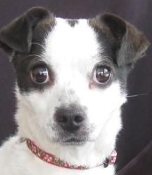 Paloma is an adoptable Chihuahua Dog in Cuba, NY. Paloma was estimated to be born 1/31/07 and weighs about 8 lbs. She was left on the door step of a local vet's office in a small cat carrier with a ca...