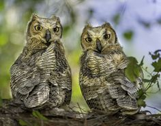 This pair of great horned owlets was photographed in Venice, Florida USA
