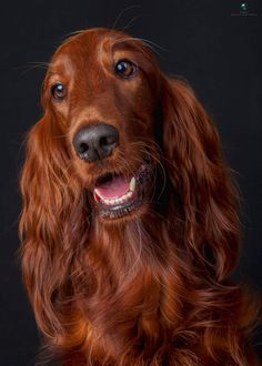 Bridgett, an Irish Setter, was my favorite dog of all time...this dog reminds me of her and makes me sad