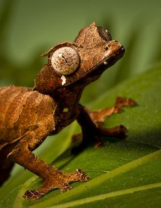 Satanic Leaf-tailed Gecko (Uroplatus phantasticus), from Madagascar - by Official San Diego Zoo, via Flickr