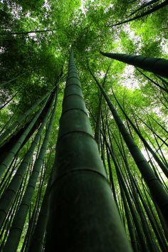 Bamboo …… -