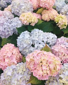 I can't get enough of these colors! The hydrangeas here are out of this world! #hydrangeaheaven #nantucketisland #gmgtravels #pastels #sconset #hydrangeas #summerblooms #nantucket