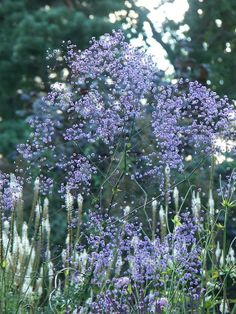 Thalictrum delavayi 'Hewitt's Double', can be rhizomatous or tuberous perennial, is an erect herbaceous perennia, Preferred common name Chinese meadow rue 'Hewitt's Double';