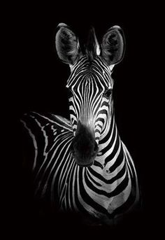 Wildphotoart 'The Zebra' Canvas Art - 30 x 2 x 47 - Black and white - Art Zebra Painting, Zebra Art, Zebra Drawing, Painting On Black Canvas, Zebra Decor, Spray Painting, Animals Black And White, Black And White Canvas, Black Paper