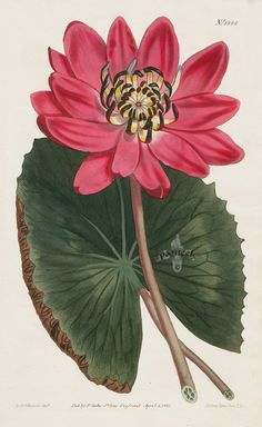Red-Flowered Water Lily from 1815 Curtis Botanical Magazine Red, Orange Highly Decorative Prints