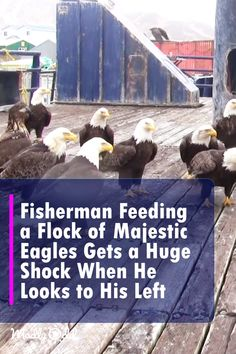 A flock of eagles? Now when does THAT happen? When the video camera pans around the dock where Peek is feeding the birds, we see an amazing spectacle. Animals And Pets, Baby Animals, Funny Animals, Cute Animals, Wild Animals, Beautiful Birds, Animals Beautiful, Majestic Animals, All Gods Creatures