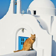 One of the many street cats in Mykonos, Greece