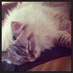 My Siberian cat! I love her!