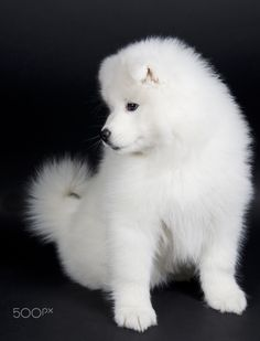 Samoyed puppy - Cute Samoyed puppy (on a black background)