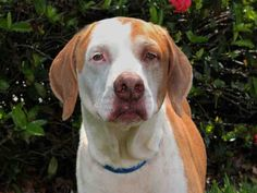 West Palm Beach, FL - I'm Scooby! Just like the real Scooby Doo, I like to do lots of investigating, with this nose of mine! Don't think that just b/c I'm older that I can't get around. I've got plenty of energy,& could run all day! I love the great outdoors! Do you love it too? Don't get me wrong, I'm also quite the fan of snuggling. If you're a senior, like me, & adopt me, my adoption fee is waived & all you pay for is my rabies tag. Senior pets make the best pets if I do say so myself!