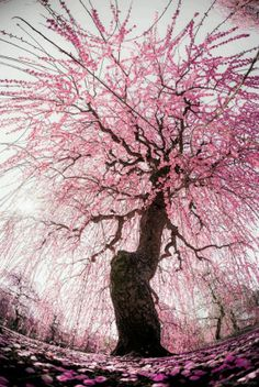 Japanese plum view more at post http://beartales.me/2015/04/02/amazing-and-interesting-photos-2-april-2015/