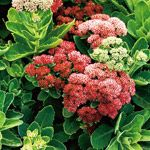 Sedum 'Autumn Joy' sedum is a drought-resistant perennial flower that grows well in most soil types, even dense clay. Plant it in full sun for best results. Its late-summer blooms attract butterflies. Name: Sedum 'Autumn Joy' Zones: 3-10