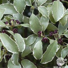 Pittosporum tenuifolium 'Silver Queen' : conteneur 25 litres