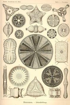Diatomea via Kunstformen der Natur (1900) Illustration by Haeckel