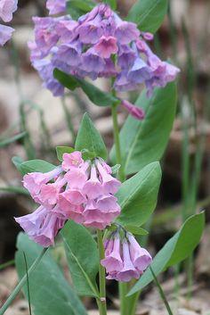 virginia bluebells at Big Bone Lick Virginia Bluebells, Flower Pictures, Outdoor Plants, Irises, Native Plants, Dream Garden, My Flower, Wildflowers, Blue Flowers