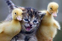 awwww-cute:  A kitten and two ducklings