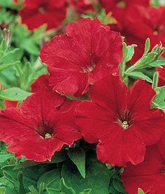 """Petunia, Supercascade Red... """"Very large colored flowers cover bushy plants. The large, 4-5 blossoms on the well-branched plants deliver great garden impact. Fine for hanging baskets and containers. GARDEN HINTS: Pinch off faded flowers and seed pods to encourage more blooms."""" [Burpee Exclusive]"""