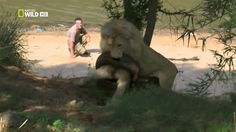 13 GIFs Of Big Cats Acting Like Regular-Sized Cats from Cool Stuff Dot Biz