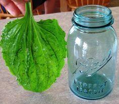 "Grandma Called it ""Medicine Leaf"" - Common Sense Homesteading (plantain)."