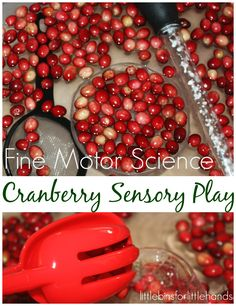 Cranberry science and sensory play with fine motor skills. Perfect Thanksgiving science activity for kids. Do cranberries float? Fall science experiment.