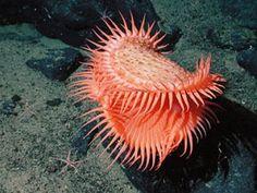 A Venus flytrap sea anemone on Davidson Seamount.