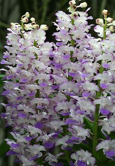 The Ryhnchostylis coeleste main characteristic upright flowering stem with more than 25 flowers blue-violet hue in each structure. Moreover, its sweet scent is well appreciated. Orchid Plants, Exotic Plants, All Plants, Exotic Flowers, Garden Plants, Beautiful Flowers, Potting Soil For Succulents, Virtual Flowers, Growing Orchids