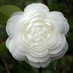 Whoa. Camellias are so my favorite right now