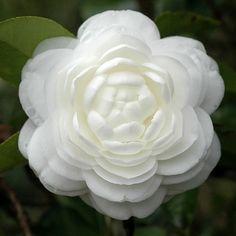 Camellia Japonica - 2010