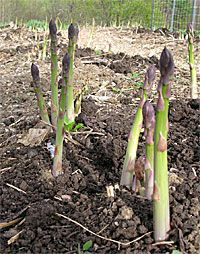 How to Grow Asparagus (with twice as much success as traditional techniques) - Gardening DIY Life Edible Garden, Lawn And Garden, Vegetable Garden, Garden Plants, Farm Gardens, Outdoor Gardens, Horticulture, Container Gardening, Gardening Tips