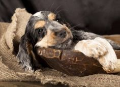 Our puppy care guide will help keep this Cocker Spaniel puppy safe and sound Cute Puppies, Cute Dogs, Dogs And Puppies, Doggies, Spaniel Breeds, Dog Breeds, Spaniel Dog, English Cocker Spaniel Puppies, Cockerspaniel