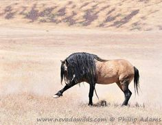 Mesteño. Mustang in Nevada. He was killed on the highway one dark night in September of 2010
