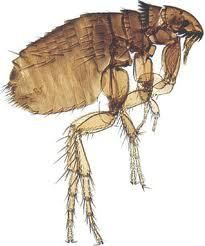 Cat fleas are the most common external parasite to affect cats. How do I know if my cat has fleas? What do fleas do? How do I get rid of fleas on my cat? Can Dogs Eat Strawberries, Cat Has Fleas, Horse Care Tips, Flea Treatment, Therapy Dogs, Flea And Tick, Pet Treats, Pet Health, Pet Dogs