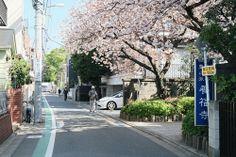 japan tokyo sakura cherry blossom