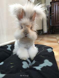 Loki the english angora rabbit