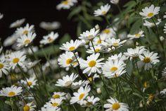 Flowers | by visitsouthcoastfinland #visitsouthcoastfinland #Finland #Lohja #flowers #daisy #flowerfield #kukkia #päivänkakkara