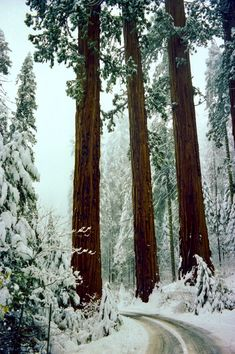 Snowy redwoods (California) by John Wolf❄️cr.c.