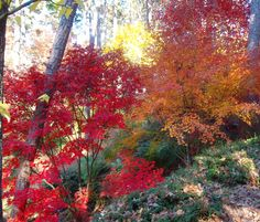 Japanese maples in the fall in Garvan Woodland Gardens in Arkansas.