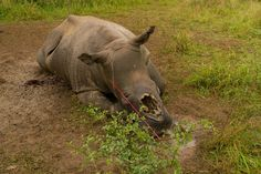Rhino horn is also prized in Vietnam, where it is crushed up as a drink or drug, as it is considered a status symbol of the super-rich. All rhinos in Vietnam are now extinct.