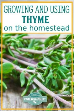 Are you thinking about growing thyme in your herb garden this season? Here is everything you need to know about growing and using thyme around the homestead and in herbal remedies Natural Cough Remedies, Natural Health Remedies, Herbal Remedies, Home Remedies, Growing Herbs, Growing Vegetables, Gardening For Beginners, Gardening Tips, Urban Gardening