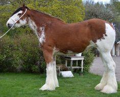 Le Clydestale - Un Clydestale au modèle Big Horses, Funny Horses, Work Horses, Show Horses, Clydesdale Horses, Breyer Horses, Draft Horses, All The Pretty Horses, Beautiful Horses