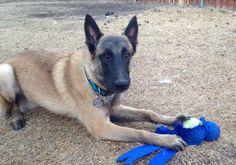 Belgian Malinois Turk...Such a sweet man.