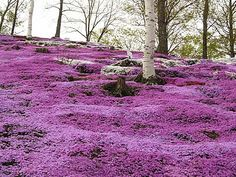 Hokkaido - lovely in purple