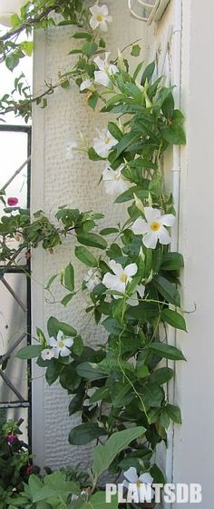 White mandevilla - pretty coverage around the garage Exotic Flowers, White Flowers, Beautiful Flowers, Garden Plants, Indoor Plants, Mandevilla Vine, Pool Landscape Design, Window Box Flowers, Flower Garden Design