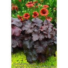 Heuchera Galaxy New Coral Bells from Terra Nova Nurseries use with Hellebore Shade Plants, Cool Plants, Shade Garden, Garden Plants, Coral Bells Heuchera, House Color Schemes, Painted Leaves, To Infinity And Beyond, Pretty Flowers